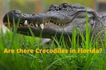 Are there crocodiles in Florida