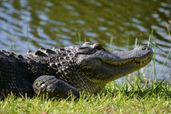 How Many Crocodiles Are in Florida